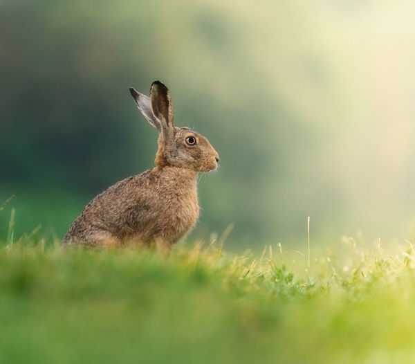 Brown hare in the morninglight