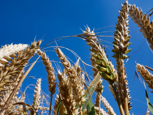 Ripe wheat field just before the harvest Agriculture Beauty In Nature Blue Cereal Plant Clear Sky Close-up Crop  Day Farm Focus On Foreground Growth Landscape Low Angle View Nature No People Outdoors Plant Plantation Rural Scene Sky Stalk Sunlight Tranquility