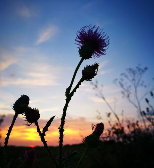 Plant Flower Flowering Plant Sky Growth Beauty In Nature Fragility Vulnerability  Nature Freshness Sunset Plant Stem Cloud - Sky Close-up Inflorescence Flower Head Focus On Foreground Silhouette Petal No People Outdoors Sepal