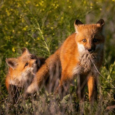 """Right before it happened"" - Red Fox Kits playing Redfox Fox Foxkit Wild Animal Utah Igutah"
