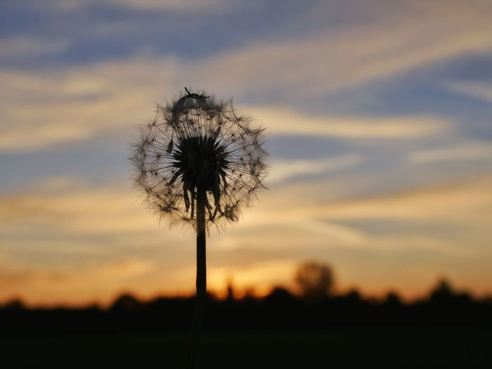 Silhouette of dandelion against sky during sunset