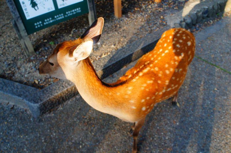 Deer Nature Wild Life Sanctuary  Nara Summer Outdoors Animal Wildlife Animal In The City