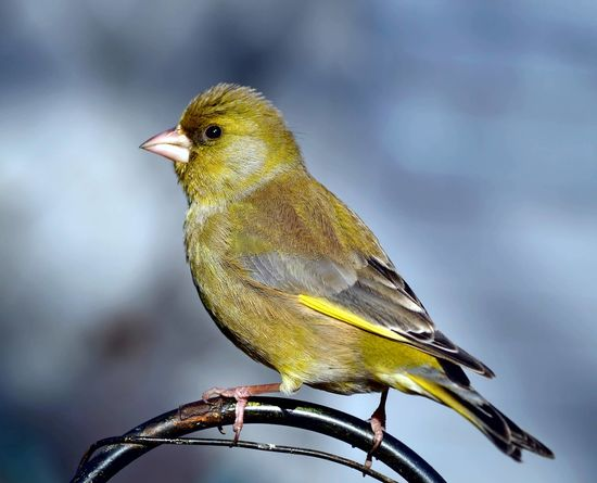 European greenfinch, or just greenfinch (Chloris chloris) European Greenfinch Greenfinch Chloris Chloris Songbird  Finch Bird Garden Wildlife & Nature Green Feather  Bird Perching Yellow Full Length Songbird  Portrait Close-up