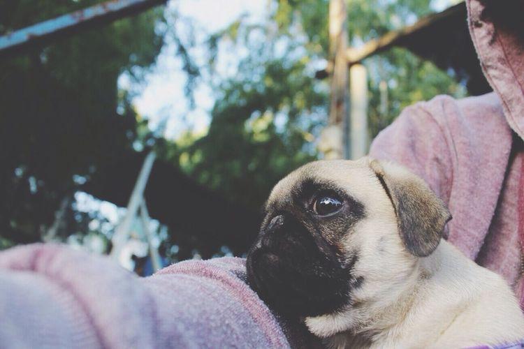 Pug Dog Maggie