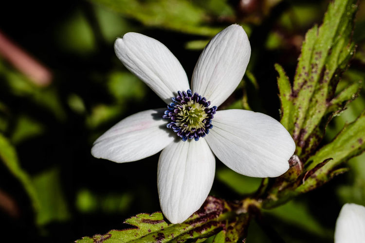 A. rivularis is a clump-forming perennial with deeply 3-lobed leaves and erect, branched stems bearing umbels of saucer-shaped white flowers, tinged blue on the reverse, in late spring and early summer. https://www.rhs.org.uk/Plants/1259/Anemone-rivularis/Details Flower Close-up Petal Beauty In Nature Nature White Color Anemone EyeEm Nature Lover