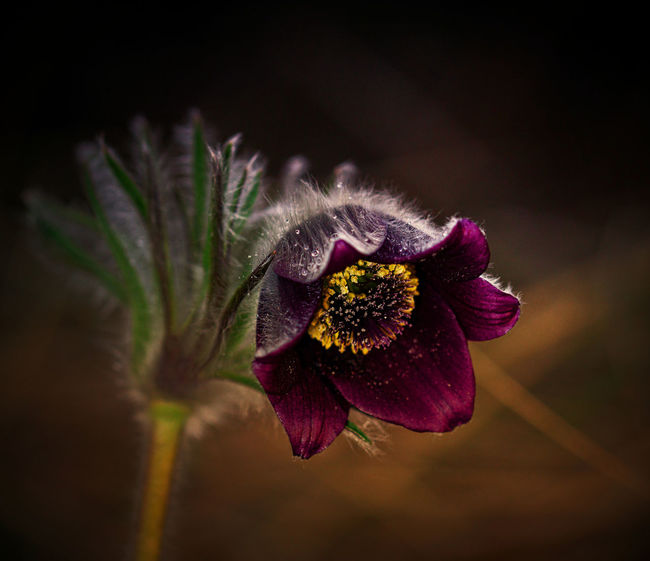 Protected Plant Anemone Close-up Flower Flowering Plant Fragility Nature No People Pasque Flower Plant
