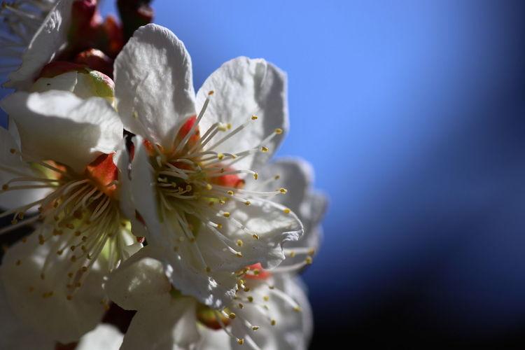 もう少し梅で😝今月もよろしくお願いしま~す👍 Camon EOS-1D X Mark Ⅲ EF300mm F2.8L IS Ⅲ USM 今日は4月1日😑 Nature Nature Photography 貧乏マクロ Macro Photography Flower Head Flower Springtime Blossom Closing Close-up Plant