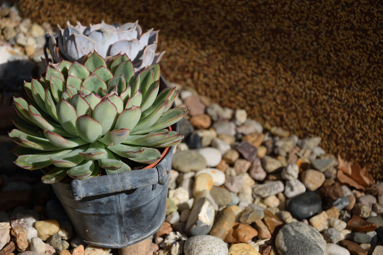 Succulents in a pot Succulent Plant Plant Nature Growth No People Stone - Object Day Large Group Of Objects Pebble Beauty In Nature High Angle View Stone Close-up Outdoors
