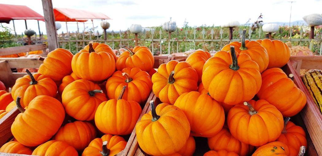 Pumpkin Rural
