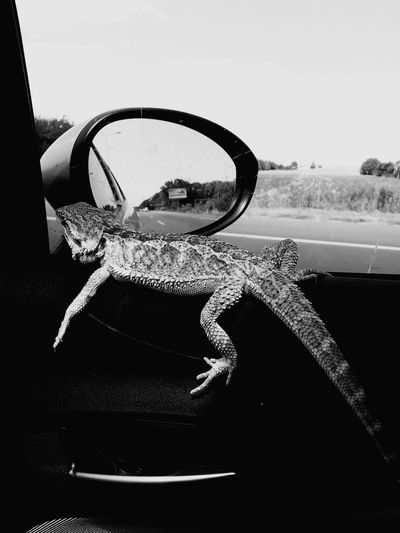 Animal Relaxing Black And White Photography Car Reptile World Reptilelife Hello World People Watching Animal Photography Animal_collection EyeEm Gallery Reptile Photography Reptile Collection EyeEm Best Shots Beautiful Reptile Beautiful Animals  Samsung Galaxy S6 Edge Eye Em Bearded Dragon Animal Head  Reptile Eyes Eye Em Around The World Animal Love Reptile Eye Em