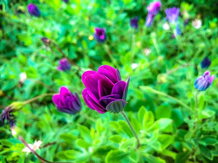 The beauty that can be found in every garden at this time of year. Flower Plant Flowering Plant Beauty In Nature Freshness Growth Fragility Close-up Petal Flower Head Nature No People Pink Color High Angle View Green Color Purple Day