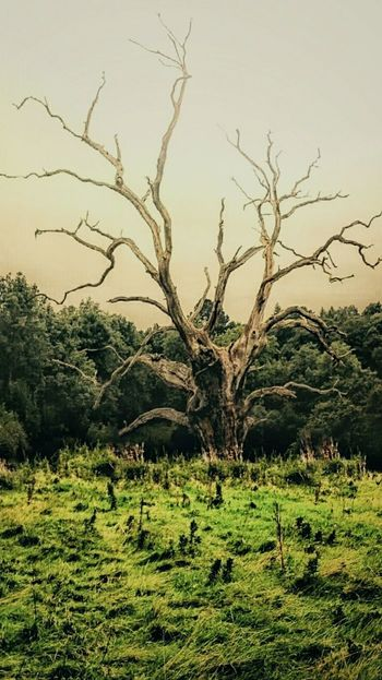 Dead tree still alive Tree Tranquility Tranquil Scene Branch Landscape Non-urban Scene Beauty In Nature Field Solitude Dead Plant Day Outdoors Growth Nature Bare Tree No People The Magic Mission Creativity Hdr Snapseed Firsteyeemphoto Calming Calming Views