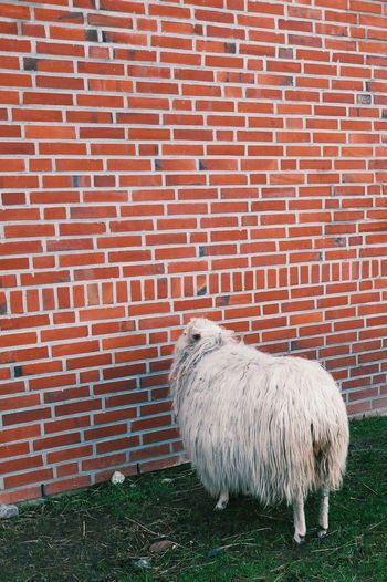 Sheep standing against brick wall