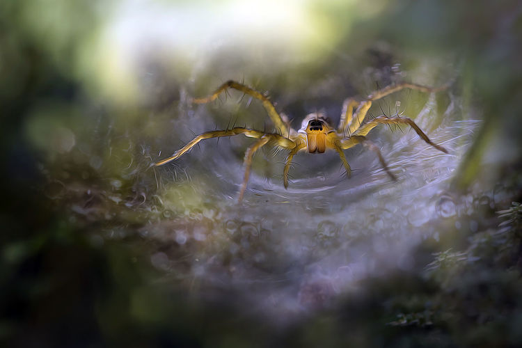 Close-up of grass spider on web