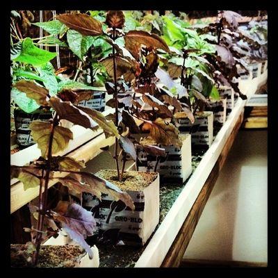 Purple Basil, yall! Surelygrow Hydroculture Hydroponics Basil plants nft houtx purple gardening food herbs