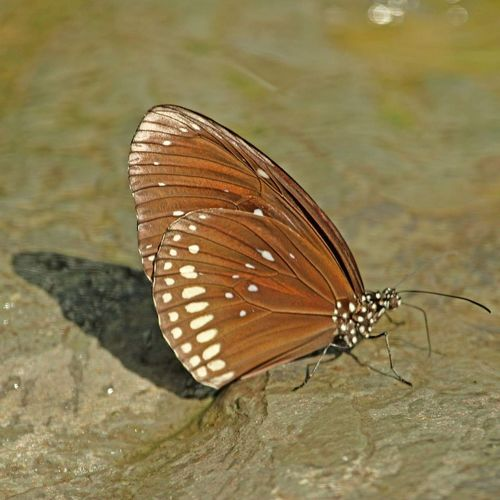 Butterfly Butterfly Collection Butterfly - Insect Brown And White Drinking Water