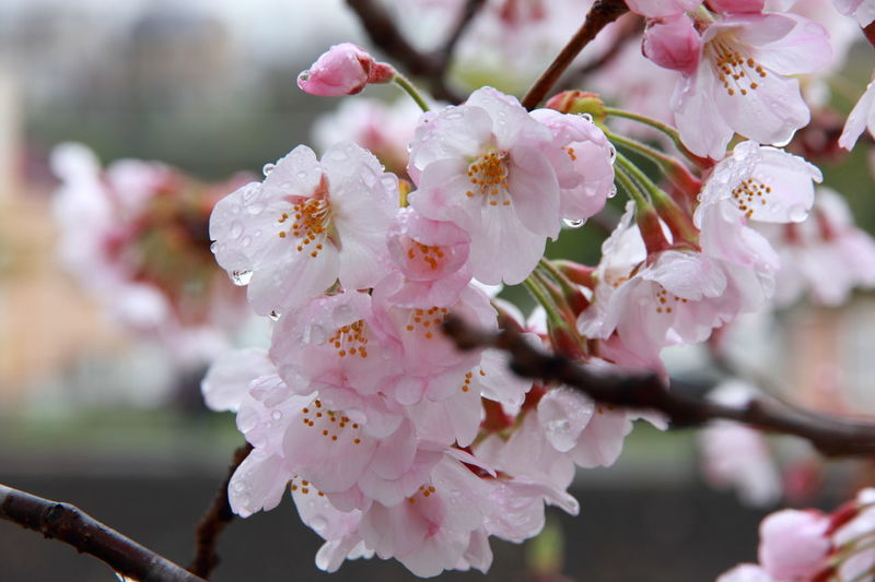 Beauty In Nature Blooming Blossom Branch Cherry Blossom Cherry Flowers Cherry Tree Close-up Flower Flower Head Freshness Growth In Bloom Nature Petal Pink Color Tree