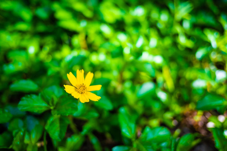 Flowering Plant Flower Plant Freshness Fragility Vulnerability  Beauty In Nature Growth Petal Inflorescence Flower Head Yellow Close-up Green Color Day Nature No People Selective Focus Focus On Foreground Outdoors