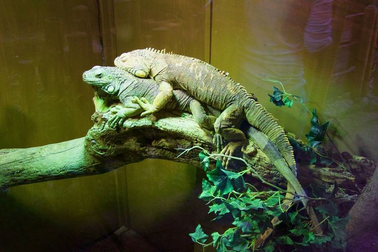 Just keeping warm Dragon Green Green Color Hug Lizard Snuggles Snuggling Staying Warm Animal Animal Themes Bodyheat Branch Green Color Iguana Lizard Nature Reptile Snug Warmth