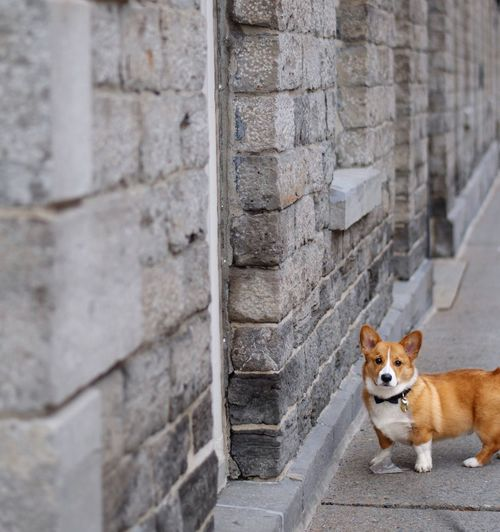 Curious Stone Wall Pembroke Welsh Corgi Corgi Old Buildings One Animal Animal Themes Mammal Animal Domestic Animals Pets Domestic Architecture Wall - Building Feature Dog Wall Built Structure Day Looking At Camera Building Exterior No People Portrait