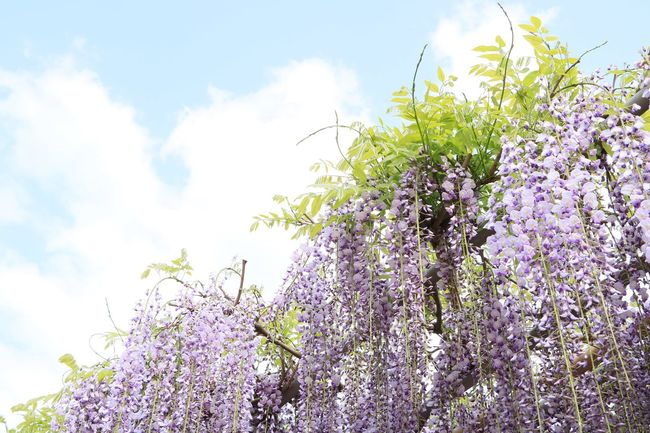 Japanese wisteria against blue sky Japan Copy Space Wallpaper Full Bloom Weep Lesves Green Beautiful Beauty Violet Wisteria Flower Blue Sky Plant Sky Growth Flower Flowering Plant Nature Cloud - Sky Freshness Day No People Tree Springtime Outdoors Purple Blossom Sunlight Beauty In Nature Low Angle View First Eyeem Photo