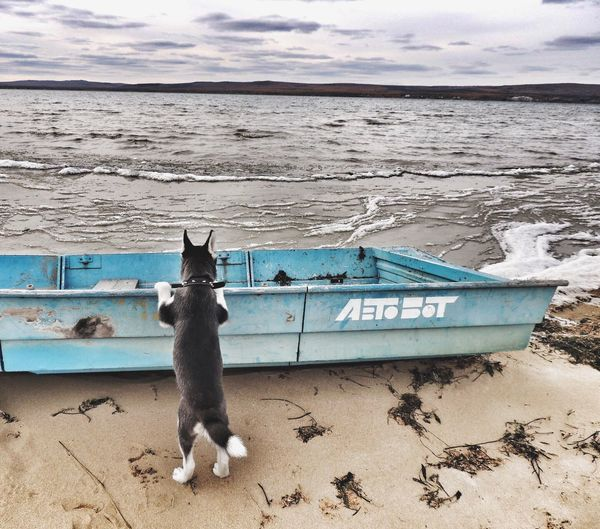 One Animal Sea Pets Domestic Animals Mammal Water Animal Themes Siberian Husky Husky Togo Sky Beach Outdoors Cloud - Sky Full Length Dog Day Nature Horizon Over Water No People