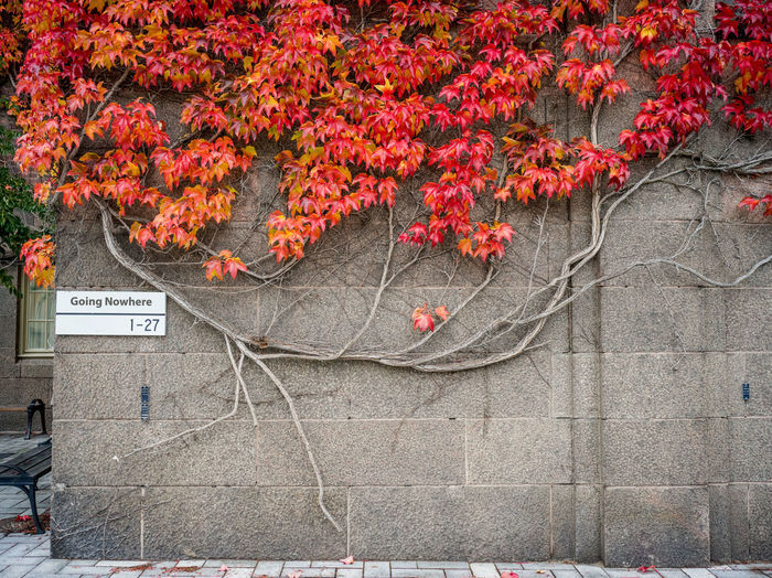 Red flowering plants by wall during autumn