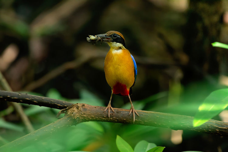 Mangrove pitta bird perching on Rhizophora branch with crab in beak for feeding babies in nest . Pitta in the wild with natural blurred background,high angle view. 2019 Bird Rhizophora spp. Animal Beak Beautiful Blue Blurred Background Brackish Water Branch Breeding Camera Closeup Coastal Colorful Crab Evergreen Species Eyes Family Feeding  Female Forest Habitat High Angle View Looking Male Mangrove Mature May Natural Nature Nest New Born Babies Parent Perch Phangnga Photographer Pitta Pitta Megarhyncha Prey Rare Red Saline Salt Tolerant Tree Season  Thailand Tree Tropical Wildlife Wings