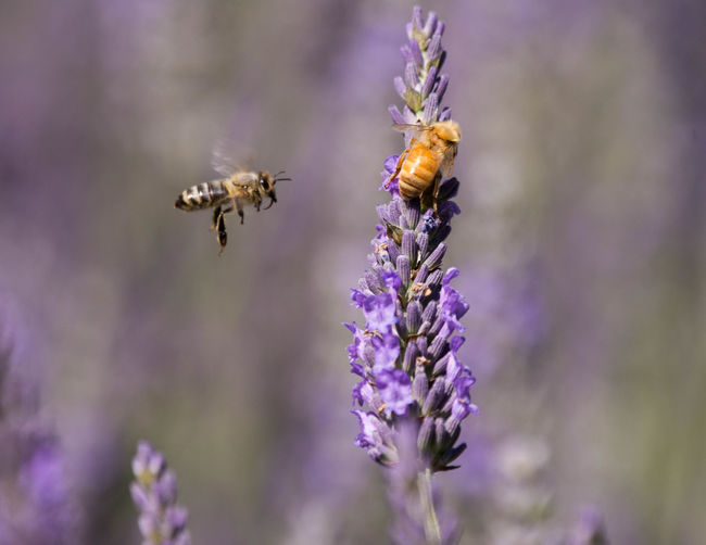 Lavender Bees Animal Themes Animal Wildlife Animals In The Wild Beauty In Nature Bee Buzzing Close-up Day Flower Focus On Foreground Fragility Freshness Growth Honey Bee Insect Lavender Nature No People One Animal Outdoors Petal Plant Pollination Purple Selective Focus