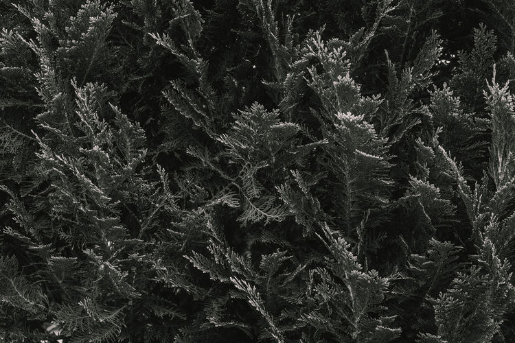 Full frame shot of pine tree in forest during winter