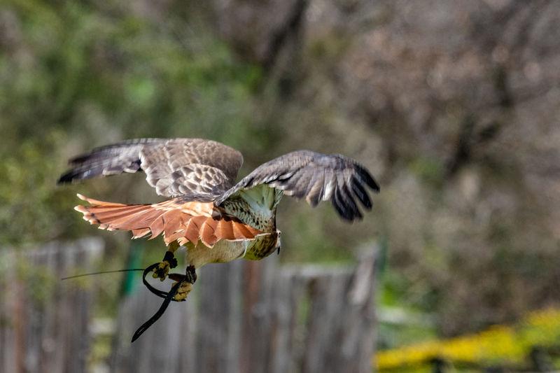 Hawk Flying With Dead Snake