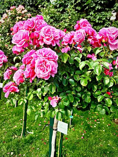 Rose - Flower Flower Flowering Plant Plant Beauty In Nature Pink Color Freshness Growth Day No People Flower Head Outdoors Nature Inflorescence