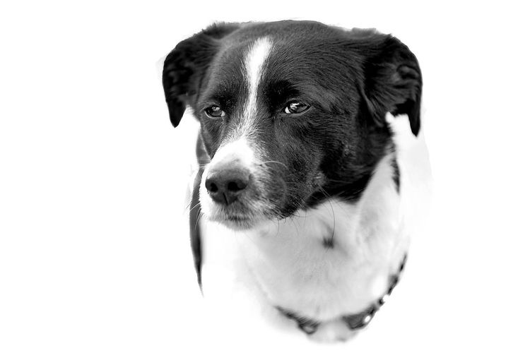 Blackandwhite Black And White Black & White Pets Pet Portraits Pet Pet Photography  Dog Dog Portrait Dogs Dogs Of EyeEm Eyes White Background Pets Portrait Dog Studio Shot Looking At Camera Close-up Beagle Retriever Mixed-breed Dog Pet Collar Ear Pet Leash German Shepherd Puppy Black Labrador Shih Tzu Panting
