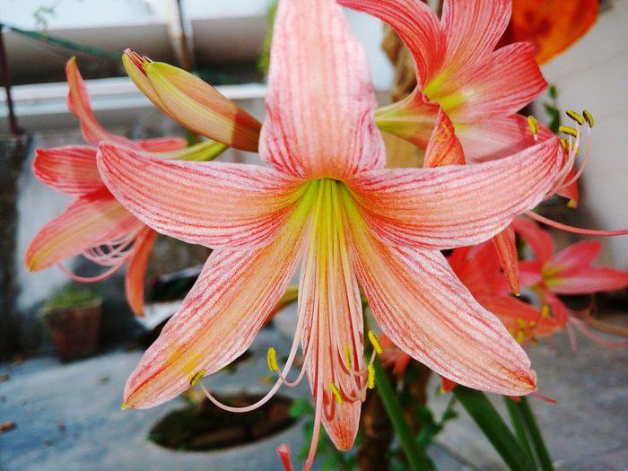 Flower Fragility Growth Petal Plant Nature Beauty In Nature Flower Head Close-up Freshness Day Outdoors No People Focus On Foreground Springtime Red Day Lily Water