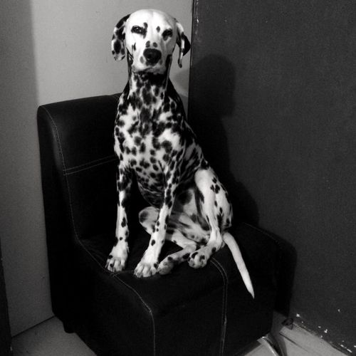 Dalmatian Sitting On Sofa Against Wall