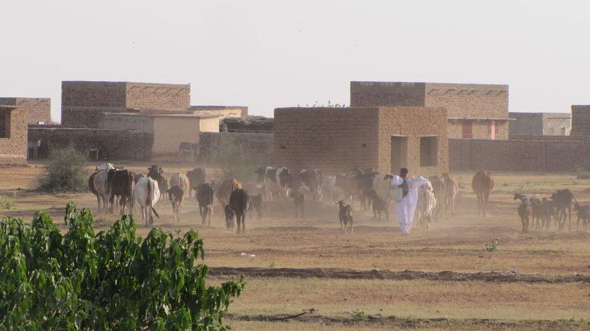 North Sudan Village Lifestock Herd Shepherd Dusty Sand Domestic Animals Coming Home In The Evening