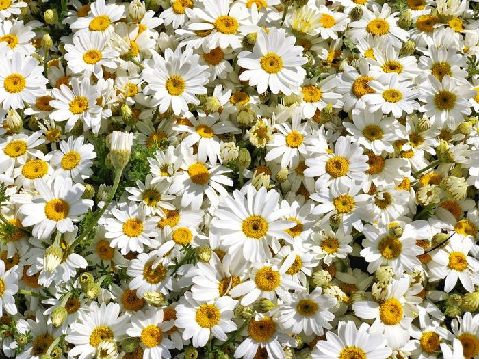 Flower Flowering Plant Freshness Vulnerability  White Color Fragility Petal Plant Flower Head Beauty In Nature Growth Inflorescence Daisy Yellow Nature Close-up Backgrounds No People Pollen