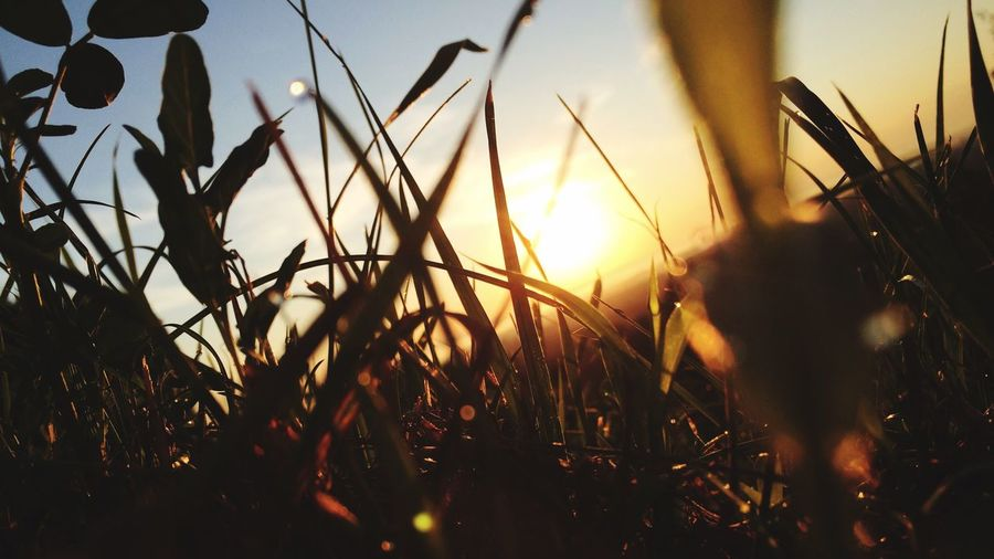 Close-up of silhouette plants growing on field against sky during sunset