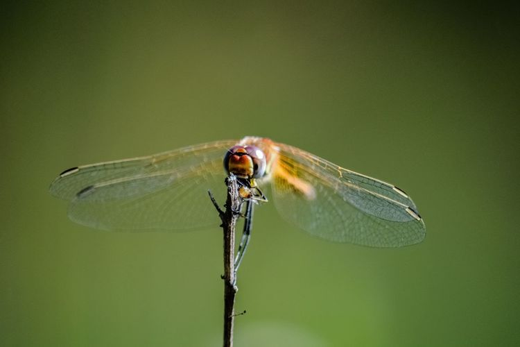 Animal Animal Eye Animal Themes Animal Wildlife Animal Wing Animals In The Wild Beauty In Nature Close-up Day Dragonfly Focus On Foreground Green Color Insect Invertebrate Leaf Nature No People One Animal Outdoors Plant Plant Part