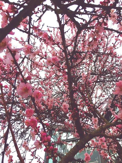 Low Angle View Tree Flower Nature Growth Beauty In Nature Fragility Pink Color Freshness Branch Blossom Springtime No People Outdoors Day Close-up Sky