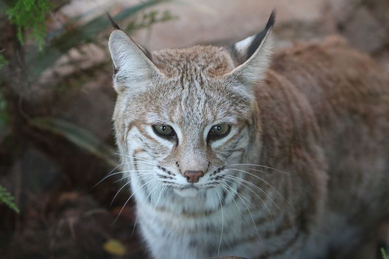 Wildcat Bobcat