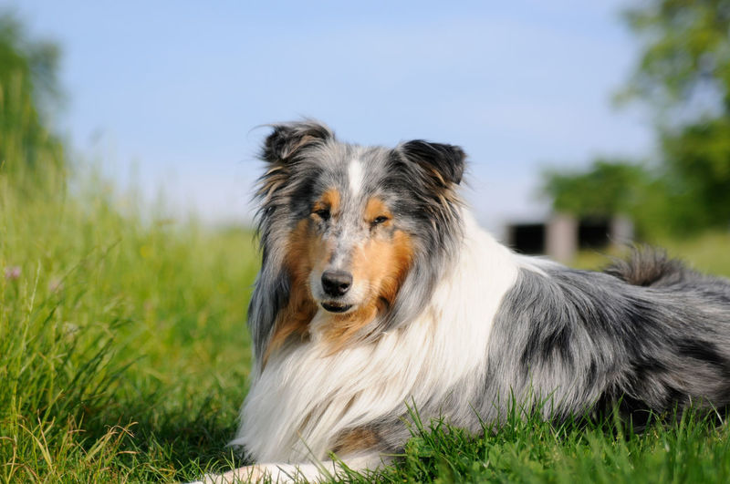 Animal Themes Blue-merle Close-up Collie Day Dog Domestic Animals Focus On Foreground Grass Lovlydog Mammal Nature Nice Face No People One Animal Outdoors Pets Sheepdog Sky Trained Tree