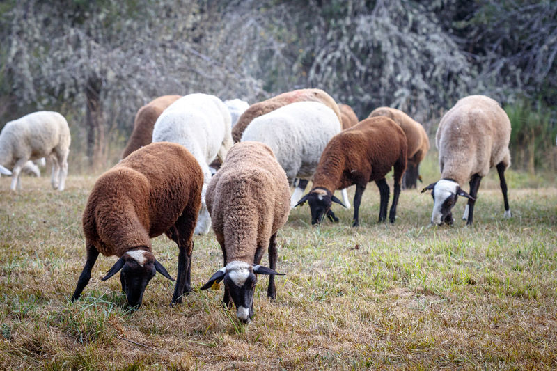 Flock of sheep grazing on meadow. Agriculture Farm Farmland Field Flock Grass Grazing Grazing Sheep Lamb Livestock Nature Pasture Rural Animal Farm Animal Farming Flock Of Sheep Herd Herd Animal Meadow Rural Scene Sheep Sheep Farm Sheeps Wool