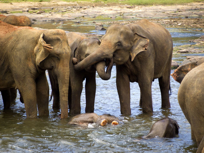 Animal Animal Themes Animal Wildlife Animals In The Wild Day Elephant Elephant Orphanage Indian Elephant Mammal No People Outdoors Sri Lanka Togetherness Travel Travel Destinations Travel Photography Water Young Animal