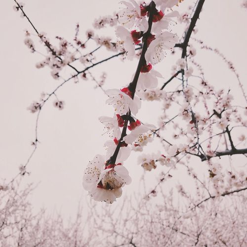 Branch Flower Tree Beauty In Nature Nature Fragility Growth Cherry Tree Blossom Springtime Twig Freshness Botany Pink Color No People Plum Blossom Outdoors Close-up Hanging