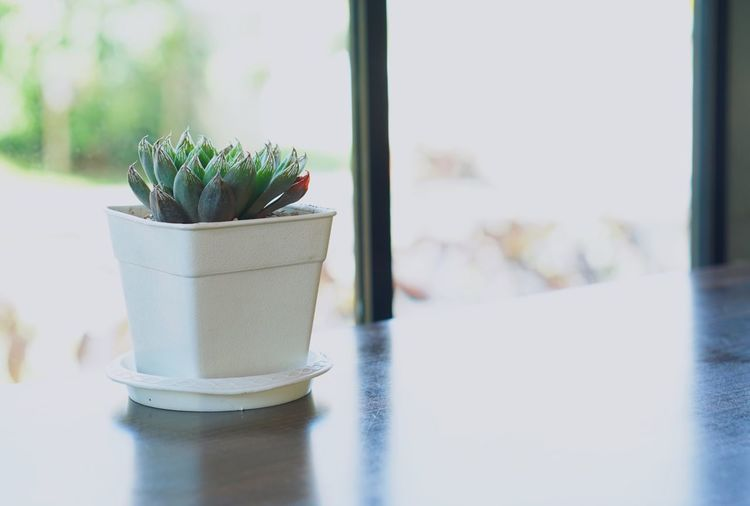 Green cactus in white clay pot on wooden table. Indoors  Table Window Plant Focus On Foreground Potted Plant Still Life Nature Close-up White Color Growth Cactus