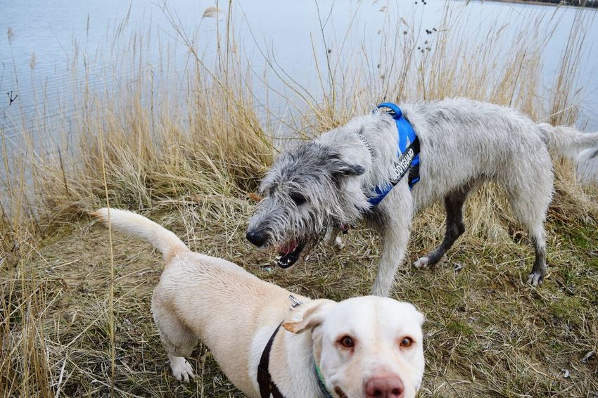 Animal Themes Domestic Animals No People Outdoors Togetherness Friendship Irish Wolfhound Cearnaigh Playing Dogs Portrait Water_collection Neustädter See March 2017 Winter 2017 A Walk In The Park How Is The Weather Today? Labrador Dog Of The Day Dogs Of Winter Dogs Of EyeEm Dogslife Dogwalk Water