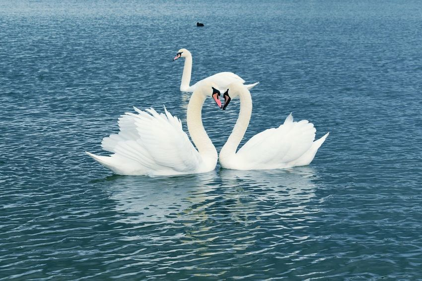 Love in Nature ♥ Heart ❤ Perspectives On Nature Be. Ready. Bird Animals In The Wild Feather  Swan Animal Wildlife No People Day Water Spread Wings Animal Themes Nature Outdoors EyeEm Best Shots EyeEm Gallery EyeEm Selects EyeEm Nature Lover