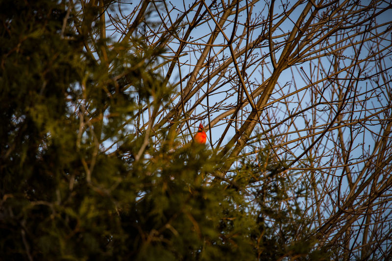 Tree Plant Low Angle View Nature Branch No People Sky Growth Day Selective Focus Outdoors Red Beauty In Nature Green Color Animal Wildlife Tranquility Focus On Foreground Leaf Orange Color Animals In The Wild Cardinal Birds