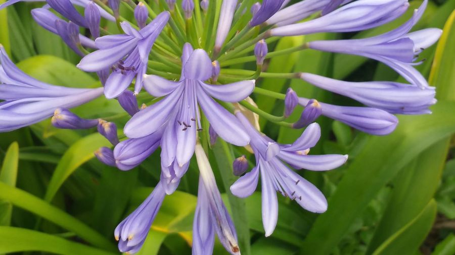 Close-up of african lilies blooming outdoors